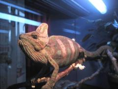 ручной хамелеон готов к продаже