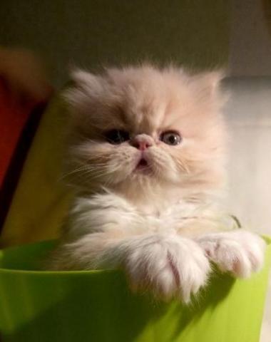 Персидские элитные котята в Берлине на продажу