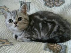 Продам в Берлине котенка Шотландской породы.