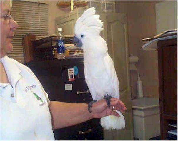 Продам попугаев Какаду в Германии!