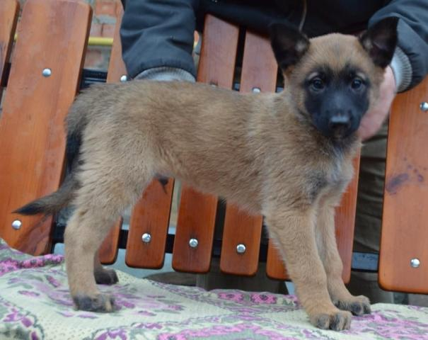 щенок бельгийской овчарки МАЛИНУА